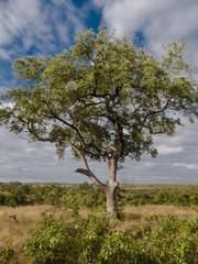 Marula Tree- Sabi Sand