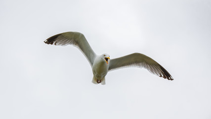 Gull flying with spread wings, shouting