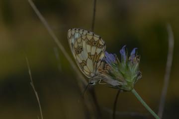 Schachbrettfalter auf einer Lavendelblüte