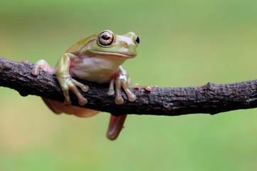 dumpy frog, frogs, tree frog,
