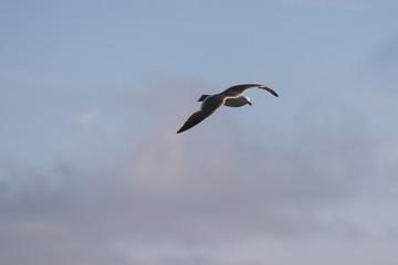 Flying seagull over blue sky.