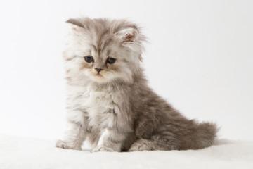 Portrait of Scottish Straight long hair kitten sitting against a white background