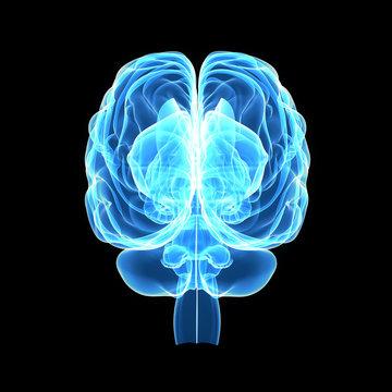 Brain posterior view