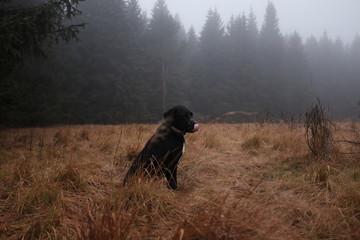 Chien noir dans une prairie avec du brouillard