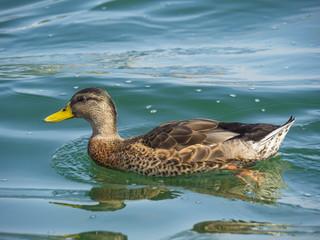 Anatra nel lago