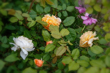 Blooming roses in the garden on a sunny day. David Austin Rose Crocus Rose and Crown Princess Margareta