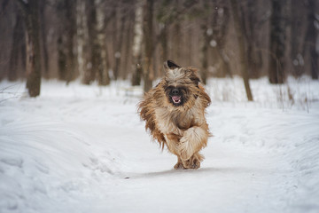 Dog breed Briard running on snow in winter day