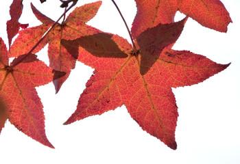 赤く透ける、楓の紅葉