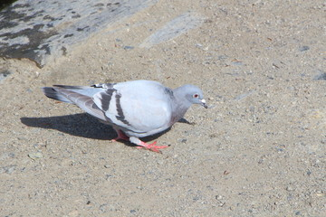 Pigeon sur la berge d'un lac