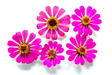 Photo sur Toile Dahlia Flowers group on white background, Pink and yellow flowers on backdrop