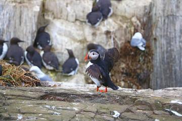 Papageientaucher - Farne Islands