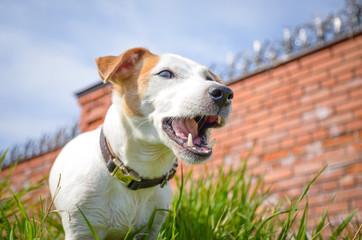 белая собака показывает зубы