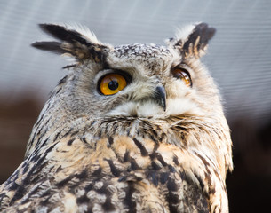 Foto auf Leinwand Eule Portrait of an eagle owl at the zoo