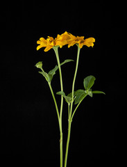 Yellow daisies on a black background