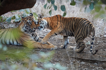 Pair of wild, mating  Bengal tigers, Panthera tigris  in its natural environment. Big tiger and smaller tigress together. You can see difference in size. Ranthambore national park, Rajasthan, India