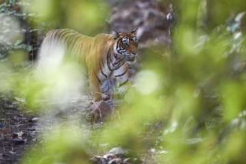Wild Bengal tiger, Panthera tigris, walking close to camera through dry forest, view partly covered by blurry leaves. Tiger in its natural environment. Ranthambore national park, Rajasthan, India