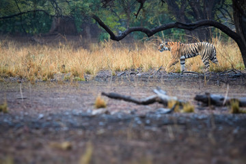 Bengal tiger, Panthera tigris, wild tigress walking in typical environment of dry forest of Ranthambore  national park, Rajasthan, India. Wild bengal tiger in the rain. Wildlife photography in india.
