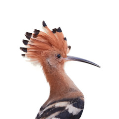 Isolated on white, portrait of African Hoopoe, Upupa epops africana, bird with erected crest.  Pilanesberg, South Africa