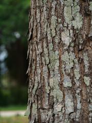 the bark of Broad Leaf Mahogany