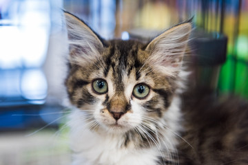 Portrait of one tabby and white kitten waiting for adoption