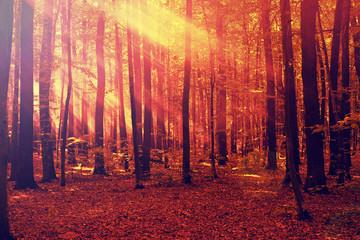 Aluminium Prints Crimson sun beams shine through the trees in autumn