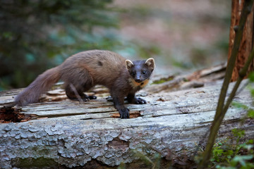 Close Up, European pine marten, Martes martes,  forest beast  on  tree trunk against blurred, forest  background. European forest carnivoran in typical spruce environment. Europe, Czechia. Wall mural