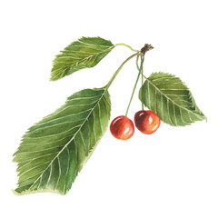 Botanical watercolor illustration of red cherry with green leaves isolated on white background