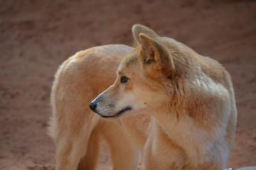 A standing dingo