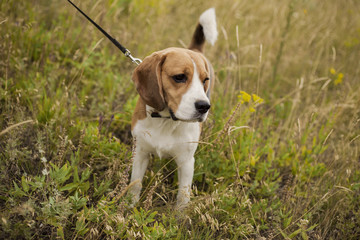 Dog of the Beagle breed on a walk