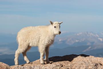 Wild Mountain Goats of the Colorado Rocky Mountains
