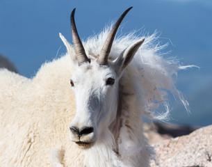 Tuinposter Ezel Wild Mountain Goats of the Colorado Rocky Mountains