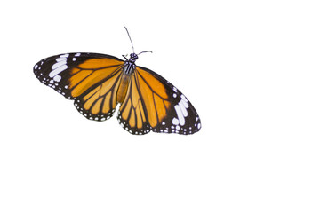 Common Tiger butterfly  ,isolated on white background