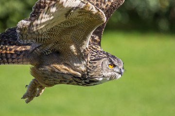 Eagle owl bird of prey hunting in flight. Eagle-owl (Bubo bubo) flying.