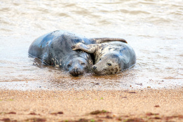 Holiday romance. Breeding pair of grey seals hugging on the sand. Funny animal meme image.