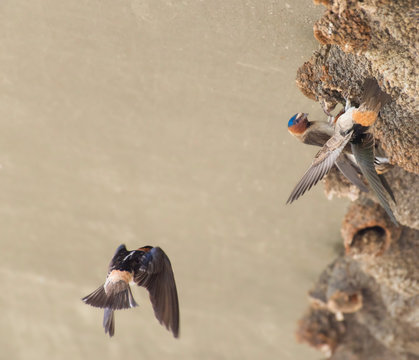 Cliff swallows build their colony beneath a freeway underpass, Lake Hodges, Escondido, California