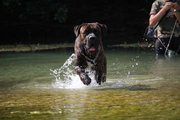 chien qui court dans l'eau cane corso
