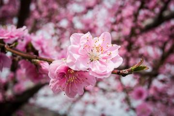 Blooming Japanese Plum Flower