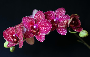 Isolated Pink orchid on black
