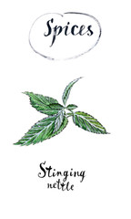 Twig of green fresh stinging nettle in watercolor