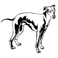 Decorative standing portrait of dog Whippet, vector illustration