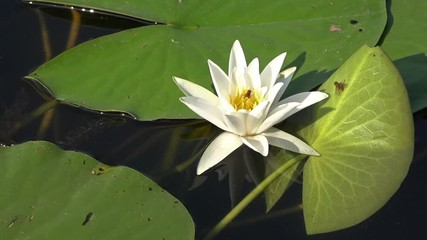 Search photos 1080p 1920x1080p background beautiful beauty lotus flower water lily background water lilies mightylinksfo