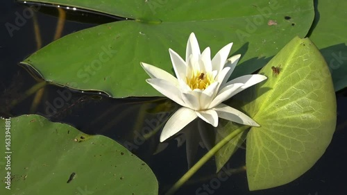White Water Lily In A Pond Lotus Flower Water Lily Background