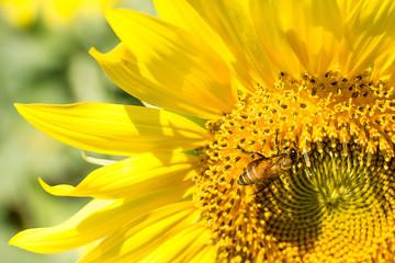 sunflowers and bee in outdoor garden.
