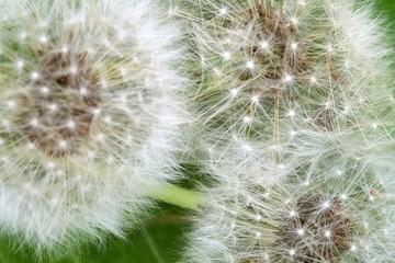 Fluffy dandelions (macro)
