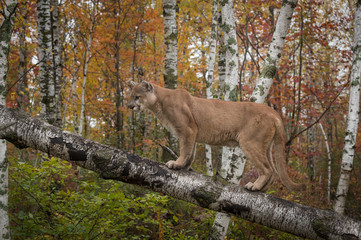 Deurstickers Puma Adult Male Cougar (Puma concolor) Stands on Birch Branch