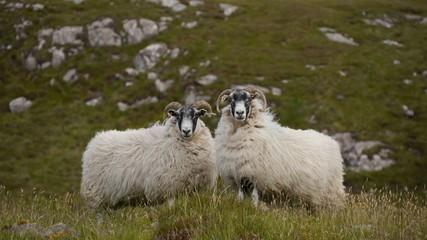 Scottish Blackface Schafe, Isle of Lewis