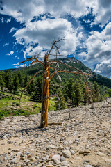 old dead tree in the source of a mountain river. Nature of the Rocky Mountains, Colorado