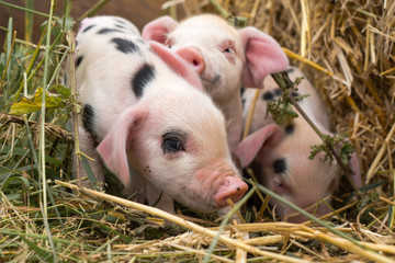 Oxford Sandy and Black piglets in straw. Four day old domestic pigs outdoors, with black spots on pink skin