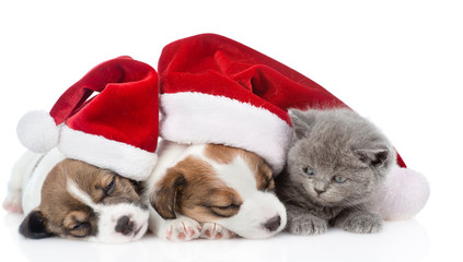 Kitten and a group of sleeping puppies Jack Russell in red santa hats. isolated on white background