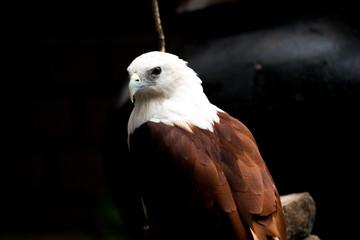 Philippines eagle in Pinatubo